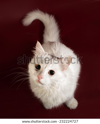 White fluffy cat sitting on burgundy background