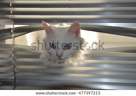 white fluffy cat with blue eyes climbs through the blinds, a cat peeking out from under the curtains, curiosity, surprise, birthday greetings, space for text