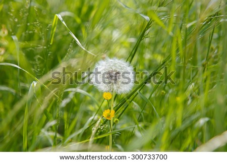 White fluffy dandelion in the field. Gardening. Flora. Rural nature. Flower bed in the Park. The flower bed. Wildlife. Chamomile. Meadow in the woods. Flowers summer. - stock photo