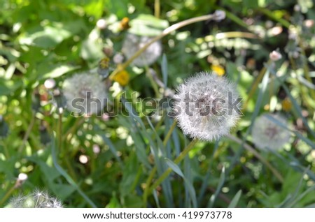 White fluffy dandelions. Natural green blurred spring background. Defocused image. Selective focus. Summer background. Beautiful fragile dandelion. Beautiful dandelion on the meadow - stock photo