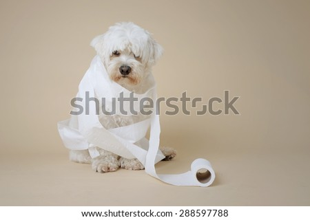White fluffy dog looking happy wrapped in toilet paper. Colour/color shift added for effect. - stock photo