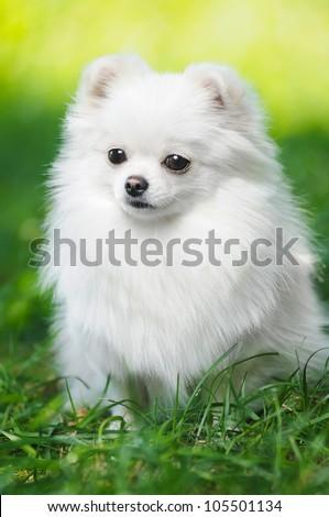 White fluffy puppy of pomeranian spitz. Dog on green grass in summer park - stock photo