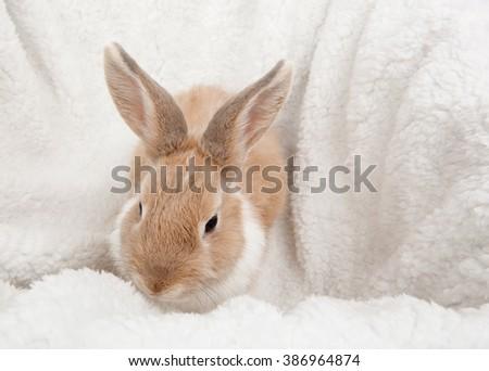 white fluffy rabbit - stock photo