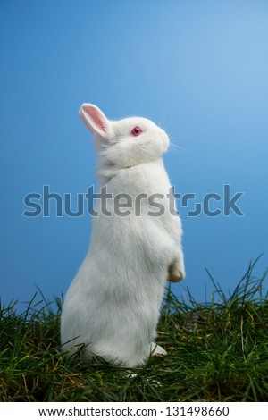 White fluffy rabbit standing up on the grass on blue background - stock photo