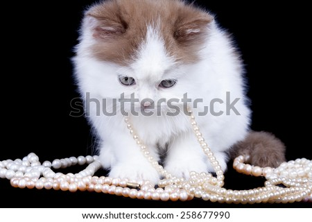 white fluffy Selkirk kitten with brown ears on a black background with beads from pearls