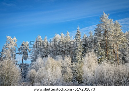 white forest in sunny winter day