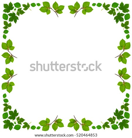 white frame with green beech leaves and branches in square format