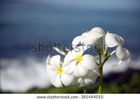 White frangipani and the sea-2 - stock photo