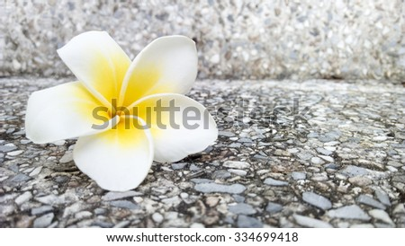 White frangipani flower - stock photo