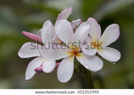 White Frangipani flower at full bloom during summer after the rain. Plumeria. - stock photo