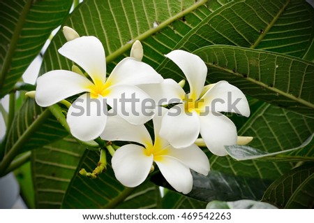 White frangipani flower bloom on the tree