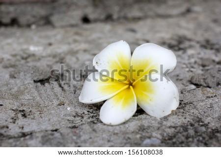 white frangipani flower on concrete background with shallow dept - stock photo