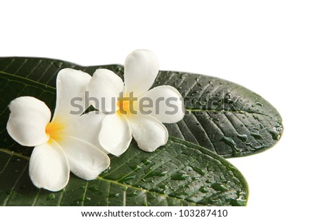 white frangipani flowers on green leaves with fresh water dew isolated - stock photo