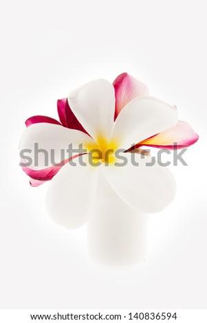 White frangipani flowers on the vase isolated - stock photo
