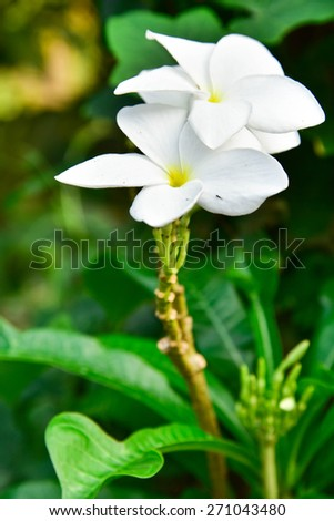 White frangipani flowers with leaves in background - stock photo