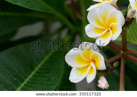 white frangipani plumeria tropical flower with water drops in rainy day - stock photo