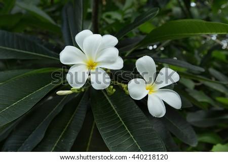 white frangipani tropical flower, plumeria flower blooming on tree, spa flower - stock photo