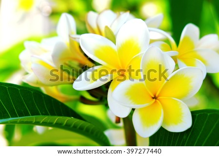 White frangipani tropical flower, plumeria flower blooming on tree, spa flower on bright sunlight. - stock photo
