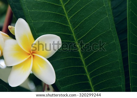 white frangipani tropical flower, plumeria flower fresh blooming on tree, spa flower
