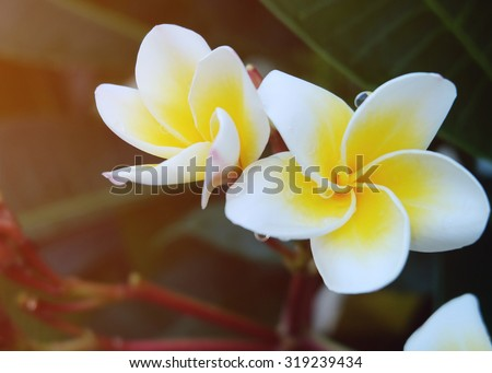 white frangipani tropical flower, plumeria flower fresh blooming on tree, spa flower with rain water dew drops on green leaf