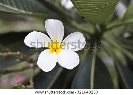 White fresh plumeria in the pale background (selective focus)