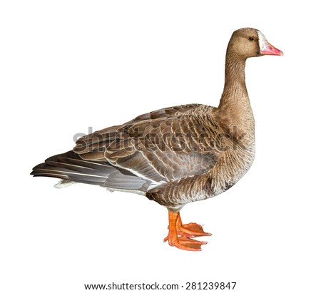 White-Fronted Goose isolated on white background with clipping path