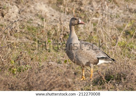 White Fronted Goose on the ground - stock photo