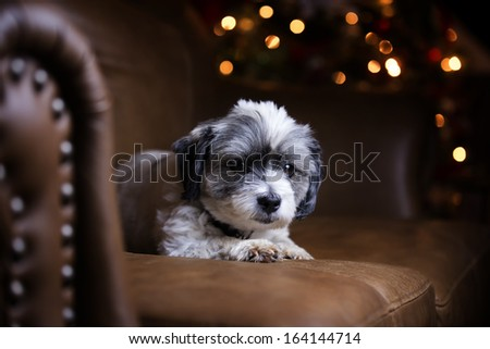 White furry dog on couch at Christmas