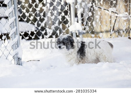 White furry dog playing in the snow by the fence.