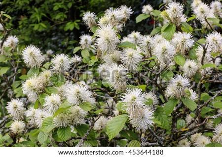 White furry pompom like flowering shrub in a spring garden. - stock photo