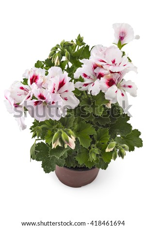 White garden english geranium with buds in flowerpot isolated on white background - stock photo