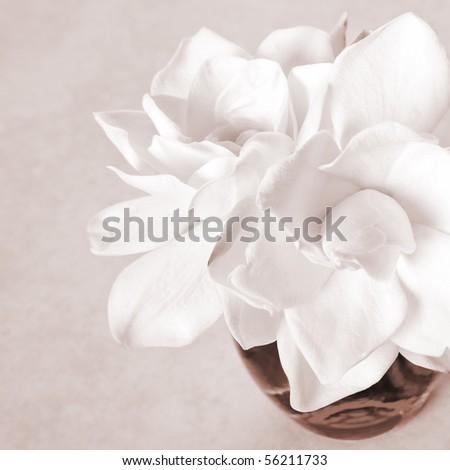 White Gardenia Blossom - stock photo