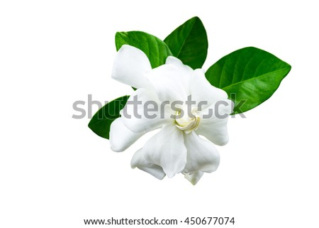 White gardenia (jasminoides,Gardenia jasmine) and green leaf  isolated on white.Saved with  clipping path
