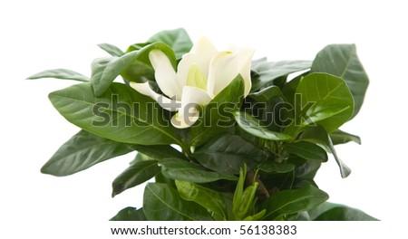 white gardenia plant isolated on white; - stock photo