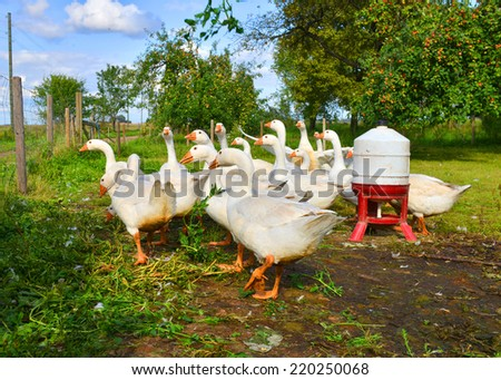 White geese and ducks on the farm - stock photo