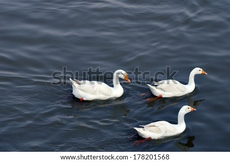 White geese in blue water with reflection of bodies in water