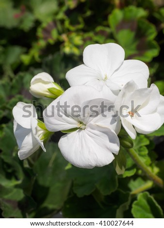 White Geranium flower