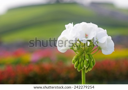 white geranium flowers with the flower field background - stock photo