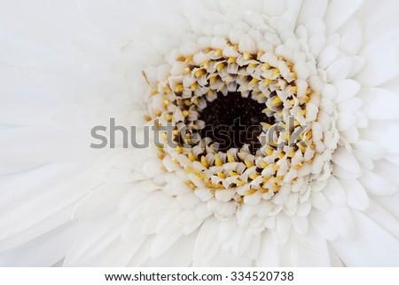 white gerber a flower in macro shot - stock photo