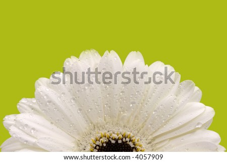 White gerber daisy with green background - stock photo