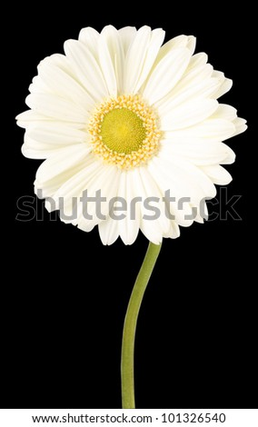 White Gerbera Daisy on black background - stock photo