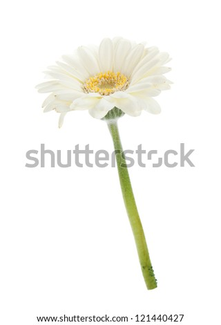 White gerbera flower. Isolated on white background