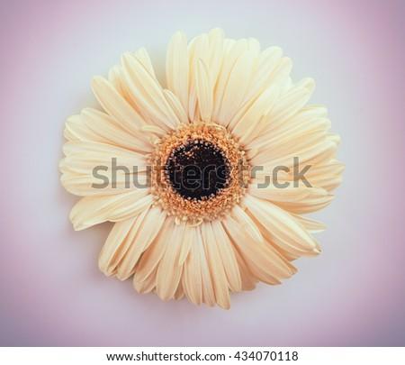 White gerbera on white background - stock photo