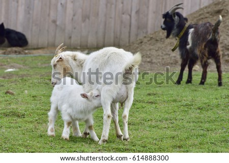 White german  goat with baby