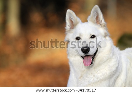 White German Sheepdog - stock photo