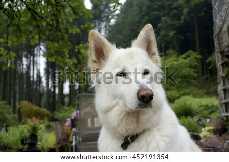 White German shepherd dog in a lovely cottage garden setting - stock photo