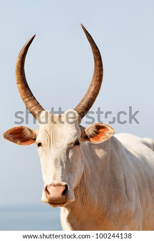 white goan cow looking at the camera - stock photo