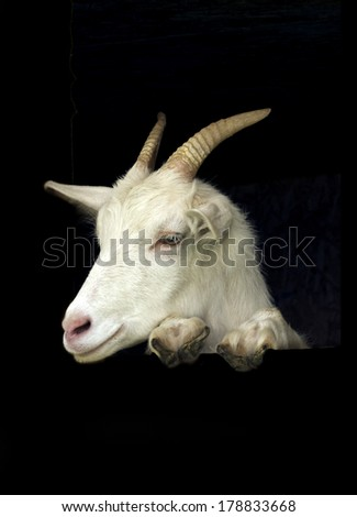 White goat above black banner on black background with copy-space - stock photo
