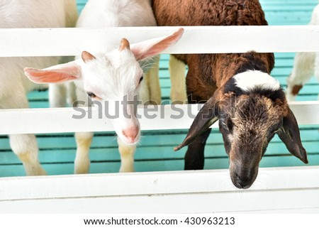 White goat in cage