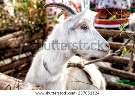 white goat in rural atmosphere - Chinese year 2015 symbol - stock photo